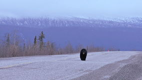 Black bear walking on yukon territory highway stock footage