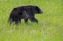 A Black Bear walks through a field of green grass. Cades Cove, a Black Bear walking through green grass stock image