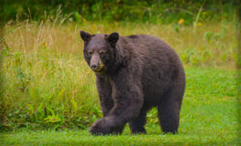 Black Bear. Wanders in the spruce forests adjacent to remote community of Gustavus, Alaska Stock Photos