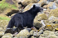 Black bear watching in Ucluelet, Vancouver Island, British Columbia, Canada. A close up of a young and wild black bear, baring its teeth royalty free stock images