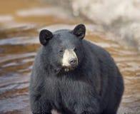 Black Bear in water Stock Photos