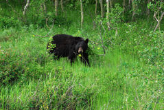 Black bear in waterton Royalty Free Stock Photography