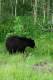 Black bear in waterton Royalty Free Stock Image