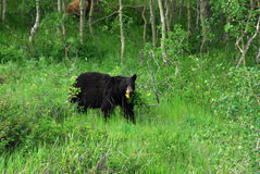 Black bear in waterton Royalty Free Stock Photos