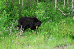 Black bear in waterton Stock Image
