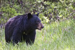 Black Bear in the wild. A lone black bear in the wilderness.  Alberta, Canada Royalty Free Stock Photos