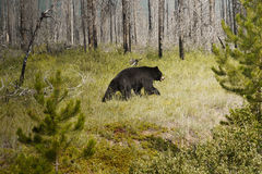 Black Bear in the wild. American Black Bear in the wild -(Ursus americanus), Jasper  National Park, Alberta, Canada Royalty Free Stock Photography