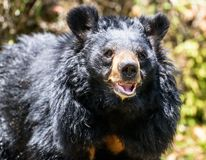 Black Bear Stock Photography