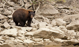 Black bear in the wild , british columbia Stock Image