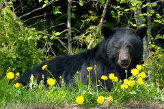 Black bear in wilderness. View of the black bear in wilderness in Whistler, British Columbia, Canada Stock Photos