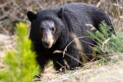 Black Bear Royalty Free Stock Images