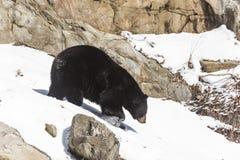 A black bear in a winter scene. Black bear in a winter scene stock photos