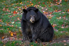 Black bear wondering in Quebec, Canada. Black bear wondering in Quebec Stock Images