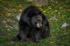 Black bear wondering what's going on. Royalty Free Stock Images