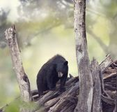 Black bear in the woods. Young Black bear in the woods stock photo