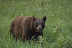 Black bear & x28;Ursus americanus& x29; with cinnamon colored fur, Jasper National Park Royalty Free Stock Photo