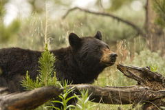 Black Bear in Yellowstone Stock Photo