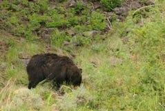 Black bear in Yellowstone Royalty Free Stock Image