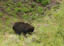 Black bear in Yellowstone Stock Images