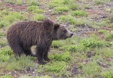 Black Bear-Yellowstone National Park Royalty Free Stock Image
