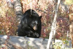 Black bear,Yellowstone NP. Black bear in forest in Yellowstone NP Royalty Free Stock Images