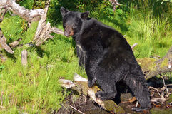 Black bear. Young american black bear in Alaska Stock Photography