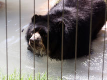 Black Bear in a Zoo. A black bear behind bars in a cage in a zoo Stock Photography