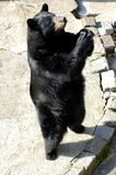 Black bear in Zoo Royalty Free Stock Photography