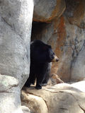 Black Bear at a Zoo. A black bear poses at a zoo next to his rock cave royalty free stock images