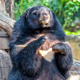 Black bear in zoo Royalty Free Stock Images