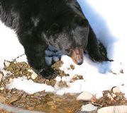 Black Bear2. Black Bear in the winter of Quebec Stock Photo