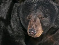Black Bear4: portrait. Black bear in the winter of Quebec Stock Photos