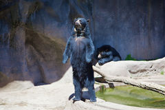 Black bears Royalty Free Stock Photo