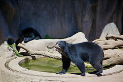Black bears Royalty Free Stock Image