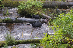 Black Bears in the Alaska Rainforest Sanctuary. The American black bear (Ursus americanus) is a medium-sized bear native to North America. It is the continent's Stock Images