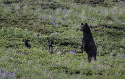 Black bears on alert. A black bear sow and her two cubs are on high alert and stand upright in a flowery meadow.  Late spring in Waterton lakes national park Royalty Free Stock Photography
