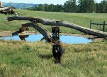 Black Bears at Bear Country Stock Image