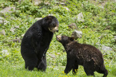 Black bears in fight Royalty Free Stock Photo