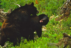 Black Bears Fighting Royalty Free Stock Images
