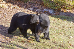 Black Bears Fighting Royalty Free Stock Photography