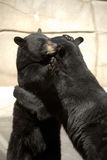 Black bears hugging. Two black bears hugging each other Stock Photo