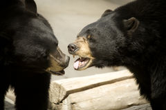 Black bears kissing. A black bear showing his teeth to another bear Royalty Free Stock Image