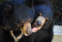 Black Bears Playing. These Black Bears wrestled with each other for a long time, and then licked each other. It's very endearing watching such a big predator Royalty Free Stock Image