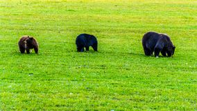 Black Bears with a thick fur feeding in a field in early winter prior to going into hibernation in Wells Grey Provincial Park. In British Columbia, Canada royalty free stock photos