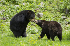 Black bears Royalty Free Stock Images