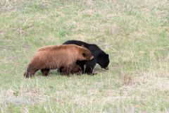 Black bears in Yellowstone NP. Black bears in Yellowstone National Park Royalty Free Stock Image