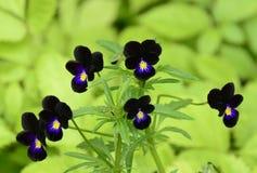 Black beauties Royalty Free Stock Photo