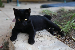 Black beautiful cat with golden eyes Royalty Free Stock Photo
