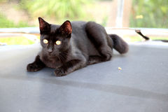Black beautiful cat with golden eyes Royalty Free Stock Photography