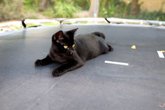 Black beautiful cat with golden eyes Stock Photography